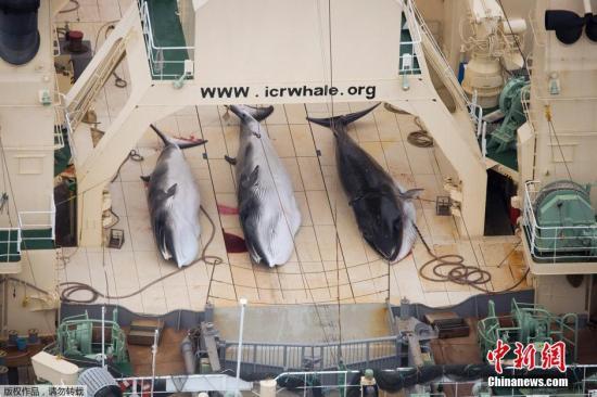 资料图:反捕鲸团体公开的三条死亡小须鲸在其中一艘日本船只的甲板上的照片。