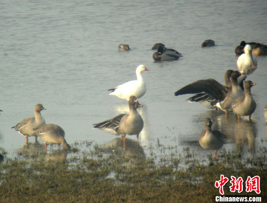 1月9日,安徽池州升金湖保护区首次出现珍稀候鸟雪雁,刷新了保护区鸟类物种分布的新记录,雪雁外形与大雁相似、周身雪白。中新社发 尹莉 摄