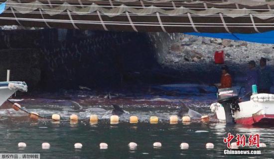 """当地时间2014年1月21日,日本太地""""海豚湾"""",日本渔民围捕入网的海豚。 据报道,在一年一度的海豚围捕活动中,已有数百海豚被猎杀。"""
