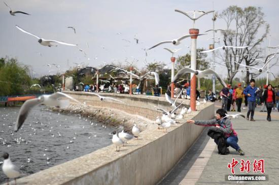 资料图:在昆明滇池边喂海鸥的游客。<a target='_blank' href='http://www.chinanews.com/'>中新社</a>发 刘冉阳 摄