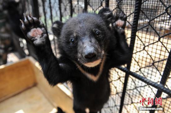 3月21日,云南野生动物园动物收容拯救中心迎来22头小黑熊。据了解,这批小黑熊是云南省鲁甸县公安局民警2日在高速公路上查获的。据介绍,这些小黑熊从哪儿来的还不太清楚,hjlcw黄金网,只是这样一次大规模的贩卖22头小黑熊的案件,在国内也是首次。这批小黑熊将会在动物园安家并快乐成长。中新社发 任东 摄