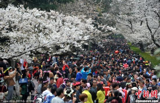 3月22日,武汉大学樱花季的首个周末,武大长约200米的樱花大道上,1000多株樱花竞相绽放,游客拿起手机、相机拍下这一年一度的美景。图片来源:CFP视觉中国昨日是武汉樱花盛开后的首个双休日,武汉大学游人如潮,摩肩接踵的游客挤满樱花大道。醉美樱花悦游人,却让武大直喊挤。据记者初步估计,当天进入武大的游客约有10万人。
