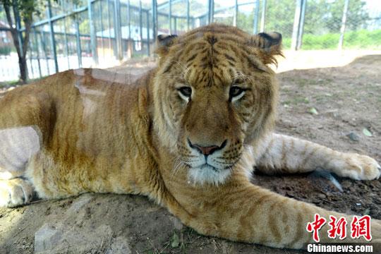 """319公斤""""狮虎""""超温驯 饲养员晒合照引发争议"""