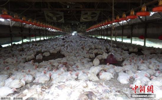 资料图:日本熊本县多良木町养鸡场。