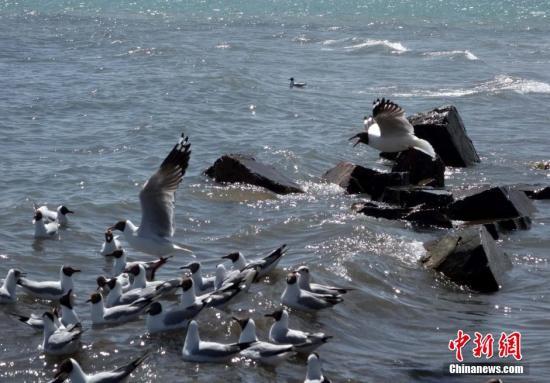 资料图:一群斑头雁在青海湖边飞翔。中新社发 赵凛松 摄