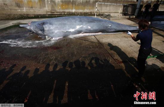 当地时间6月26日,日本千叶,为了纪念捕鲸季开始,千叶市屠鲸厂组织日本在校学生围观宰杀鲸鱼的过程,并将割下的鲸肉分发给在场的人。此前联合国法庭出台禁令,禁止日本在南极洲附近捕杀鲸鱼。