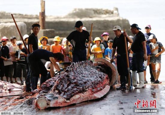 资料图:日本捕鲸季开始 学生观摩宰杀过程。