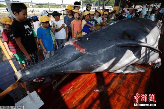 资料图:当地时间2014年6月26日,日本千叶,为了纪念捕鲸季开始,千叶市屠鲸厂组织日本在校学生围观宰杀鲸鱼的过程,并将割下的鲸肉分发给在场的人。此前联合国法庭出台禁令,禁止日本在南极洲附近捕杀鲸鱼。