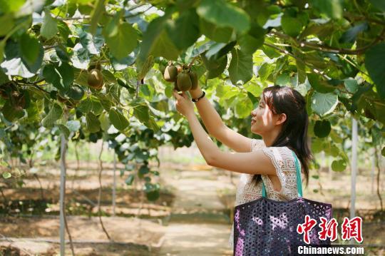 """8月21日,有""""水果之乡""""美誉的浙江绍兴上虞迎来今年首批猕猴桃丰收,吸引了诸多游客前来采摘。据悉,为了拓宽水果销路,当地果农打造出集种植和旅游一体的农家乐经营模式,还首次尝试线上销售。汪恩民 摄"""