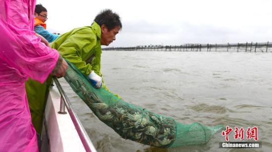 资料图:阳澄湖大闸蟹正式开捕,守候了大半年的蟹农们纷纷鼓足劲,驾驶渔船起航捕捞。李骥 摄