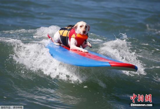 资料图片:狗狗冲浪大赛。
