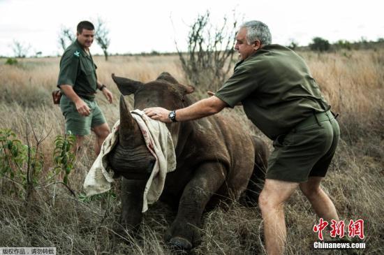 10月17日,在南非克鲁格国家公园,做事人员将犀牛牵引至转运车辆。当日,南非克鲁格国家公园将四头犀牛从偷猎高风险地区迁移至较为坦然的新家