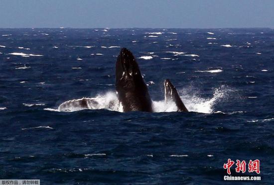 当地时间2014年11月4日,澳大利新南威尔士州,一只雌性座头鲸在莫利莫克海滩附近的洋面上摆尾。