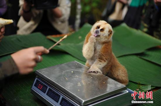资料图为:2018年11月16日,当日,云南普洱太阳河国家公园开始分批,对区内57种国家重点保护野生动物开展本底调查工作。<a target='_blank' href=