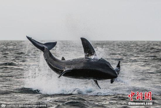 资料图:大白鲨跃出海面。