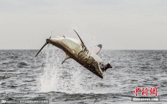 资料图:大白鲨跃出水面捕食。