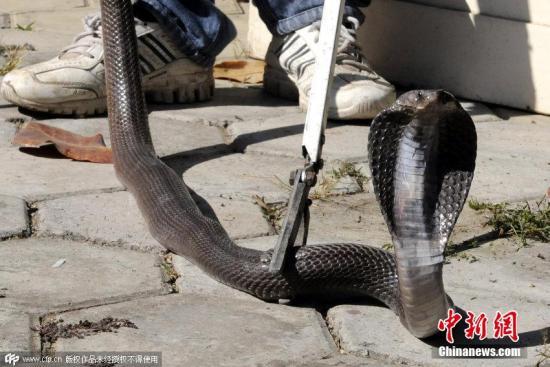 当地时间2018-12-12,印度印多尔,印多尔动物园内一头三岁大的白虎与眼镜蛇发生争斗,白虎被眼镜蛇咬后死亡,眼镜蛇受伤。图片来源:CFP视觉中国