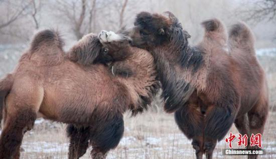 1月20日,新疆阿勒泰布尔津县冲乎尔镇克孜勒塔斯村拍摄两峰骆驼亲密接触卖萌情景。平时骆驼这种动物不离群,不孤僻,相互亲近疼爱,彼此要好,从不相斗,不相抢食。它们彼此亲近亲吻的情景随时可见。 巴合提别克 摄