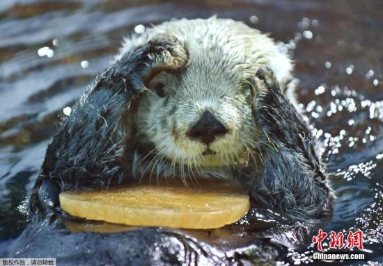 """25岁""""海獭老人""""再见!日本最年长人工饲养海獭去世图片"""