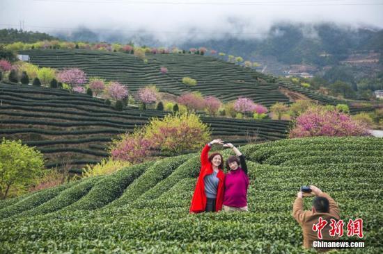 """春节长假,有""""大陆阿里山""""之称的福建省漳平市永福镇樱花茶园里十万株樱花相继怒放,网友称""""美到爆""""。这里更是成为节日里各地游客""""不远万里""""举家自驾车而来的赏花之地。据不完全统计,春节假期,这里每天游客达到两三万人。   目前,永福是大陆地区最大的台湾软枝乌龙茶生产基地,被打造成""""中国惟一的茶园樱花胜地"""",""""茶绿?:臁笔钦饫镒畲蟮奶厣?。杨婀娜 摄"""
