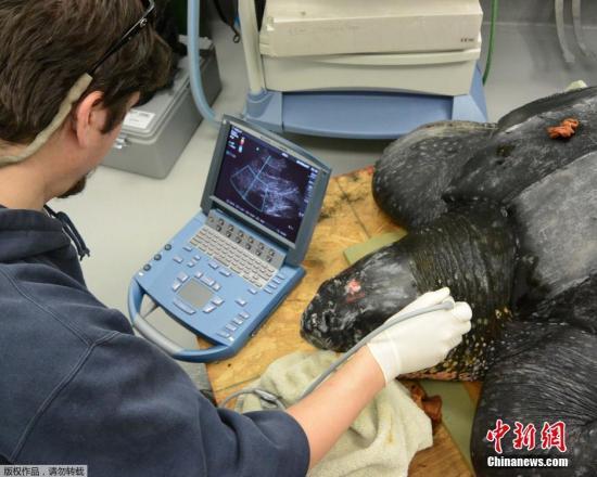 拒绝海洋垃圾!日本发现一海龟尸体 腹内含塑料袋