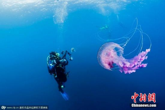 资料图:2015年3月30日消息,在英国,色彩缤纷的水母畅游在苏格兰海域,这些美丽的生物尾部长有危险的刺。紫色和橙色的水母带有精致的卷须,能够伤害其他生物。距离苏格兰海岸50英里的一系列岛屿,是许多美丽又危险的水母的栖息地。南安普顿老练的潜水员、36岁的Matt Doggett2013年7月潜入这里,拍到了这些美丽又危险的生物。图片来源:CFP视觉中国