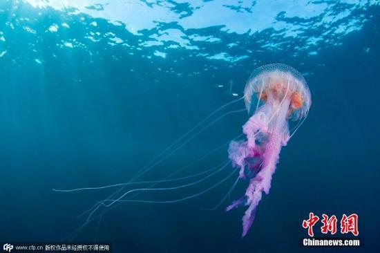 资料图:水母色彩缤纷,美丽却危险。(图片来源:CFP视觉中国)