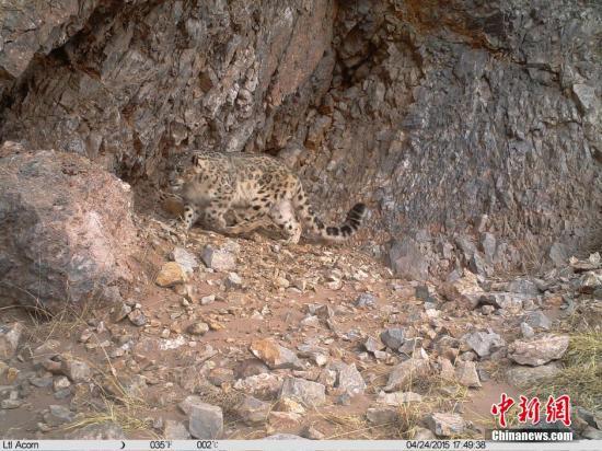 资料图:雪豹正在长江源地区活动。 <a target='_blank' href='http://www.chinanews.com/'>中新社</a>发 钟欣 摄