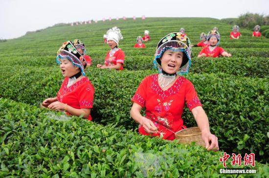 资料图:场农家妇女边采茶边唱歌。<a target='_blank' href='http://www-chinanews-com.laihuobao.com/'>中新社</a>发 陈文 摄