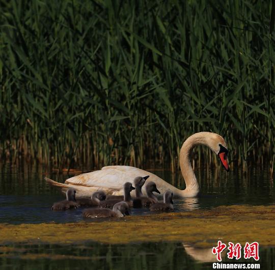 图为乌梁素海上的天鹅萌娃正在与爸爸妈妈互动。 尚军 摄