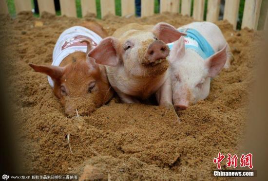 当地时间2015年6月6日,俄罗斯叶卡捷琳堡,当地举行猪赛跑活动。图片来源:CFP视觉中国