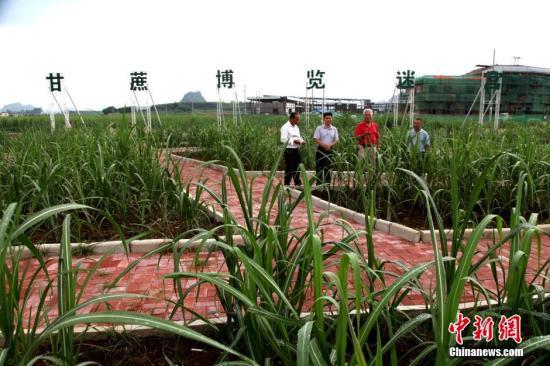 广西是中国最大蔗糖生产基地,蔗糖产量占中国六成以上,蔗农人口超2000万。 <a target='_blank' href='http://www.chinanews.com/'>中新社</a>发 黄艳梅 摄