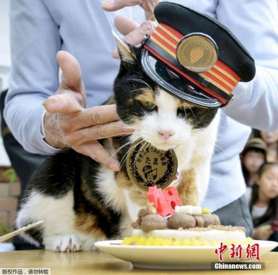 """资料图:日本和歌山电铁的首任花猫站长""""小玉""""(Tama)。"""