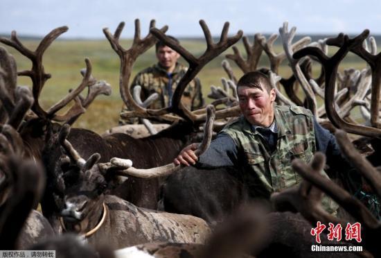 资料图:俄罗斯涅涅茨自治区,当地牧民和家人聚集在一起庆祝一年一度的驯鹿节。
