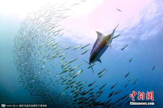 """2015年8月13日消息,,沙丁鱼迁徙被称作大自然最为壮观的奇景之一。每年,数以亿计的沙丁鱼从南非好望角附近的冷水域沿着东部海岸,一路向北,进入印度洋。期间,海豚、鲸鱼、鲨鱼和海鸟们纷纷赶来饱餐一顿。37岁的法国水下摄影师格雷格・勒克尔(Greg Lecoeur)特地到此,用相机记录下自然界最震撼人心的""""海底之战""""。沙丁鱼迁移期间,数量庞大的鱼群闪着银色微光,组成密集的阵形,以抵御天敌的攻击。但如此浩大的阵营同时也让海豚、鲸鱼、鲨鱼和海鸟们百发百中,尽情享用""""沙丁鱼大餐""""。图片来源:CFP视觉中国"""