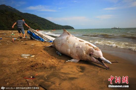 资料图:中华白海豚搁浅死亡。 图片来源:CFP视觉中国