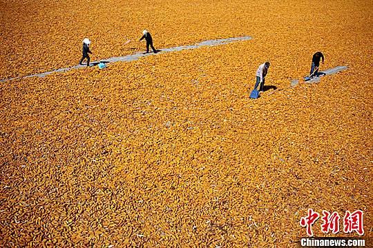 金秋九月,甘肃张掖市临泽县26.5万亩制种玉米进入收获期,金黄色成为当地田间地头的主色调。赵琳 摄