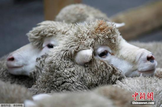 资料图:绵羊。