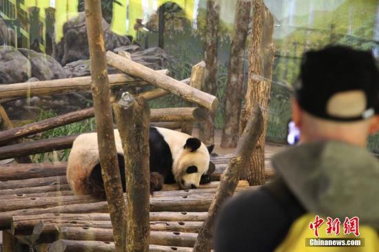 """材料图:2015年5月,熊猫专家为""""两逆""""停止了野生授粗,别离从""""年夜毛""""体内得到粗子,和从中国成皆的两只雄性年夜熊猫处得到热冻粗子,为""""两逆""""授粗。不外,""""两逆""""产崽的动静给多伦多植物园带去了人气。 a target='_blank' href='http://www.chinanews.com/'中新社/a记者 缓少安 摄"""