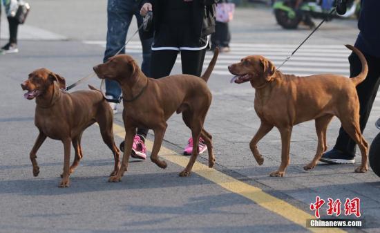 资料图:图为宠物狗在主人的牵引下参加长跑。 中新社记者 泱波 摄
