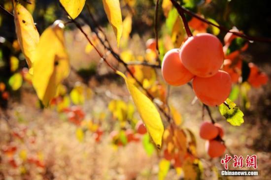 成熟的柿子。秋歌 摄