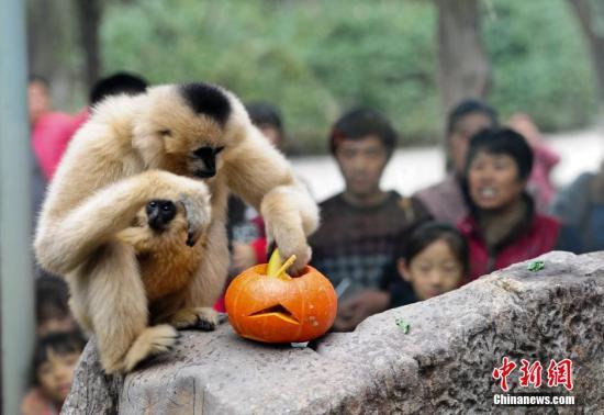 资料图:长臂猿。中新社记者 张勇 摄