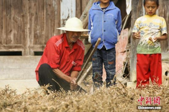资料图:农民伯伯用木棍拍打让黄豆脱粒。 贺俊怡 摄