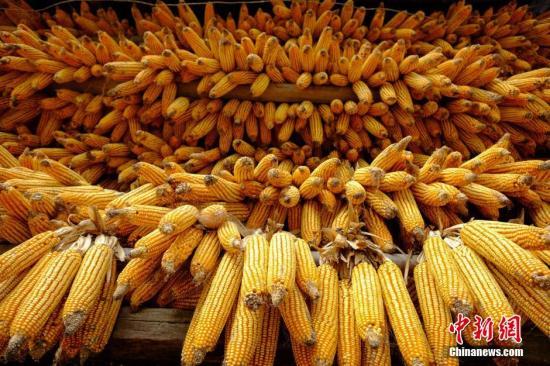 资料图:农户屋檐下挂着今秋刚收回的玉米。 贺俊怡 摄