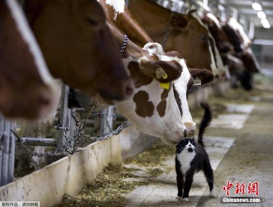 咋使牛奶更好喝?日研究称:喂食含这种物质的饲料