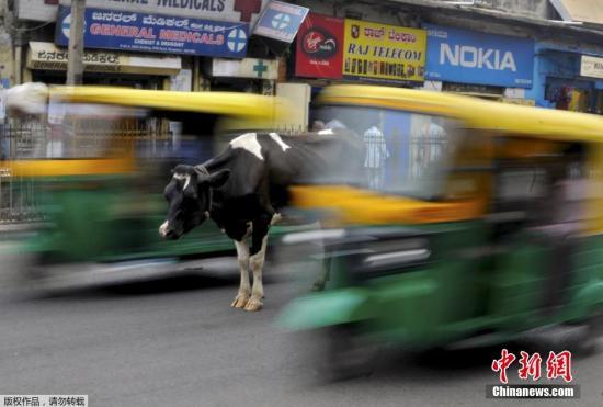2015年6月2日,印度班加罗尔,一头奶牛站在闹市中央,三轮车从身旁经过。