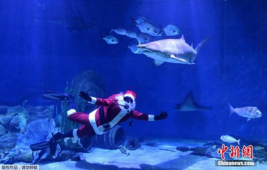 澳大利亚站。 当地时间12月22日,澳大利亚墨尔本水族馆里,圣诞老人和鲨鱼一起游泳。