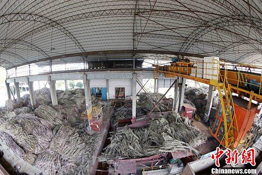 资料图:在广西凤糖集团融安制糖公司原料调运车间,工人们在调运甘蔗。谭凯兴 摄
