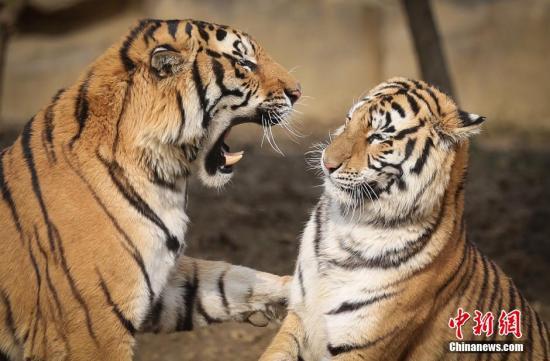 资料图:老虎。<a target='_blank' href='http://www.chinanews.com/'>中新社</a>记者 泱波 摄