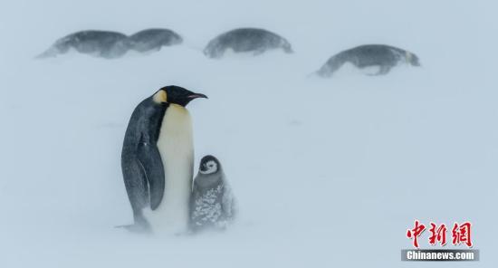 资料图:南极,帝企鹅在暴风雪中抱在一起,或趴在地上,来抵抗极寒。 图片来源:视觉中国